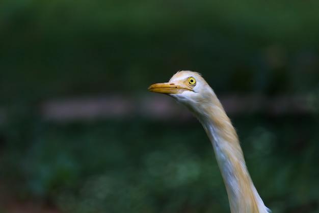 Kuhreiher oder bekannt als bubulcus ibis steht fest in der nähe der pflanzen für insekten und schädlinge