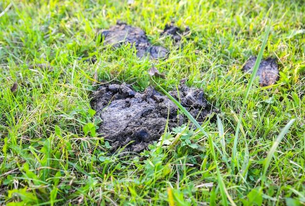 Kuhscheiße, die auf dem gras liegt.