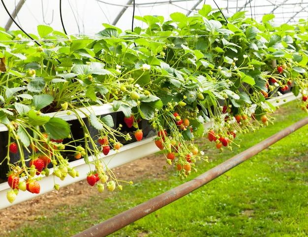 Kultur in einer gewächshauserdbeere und -erdbeeren