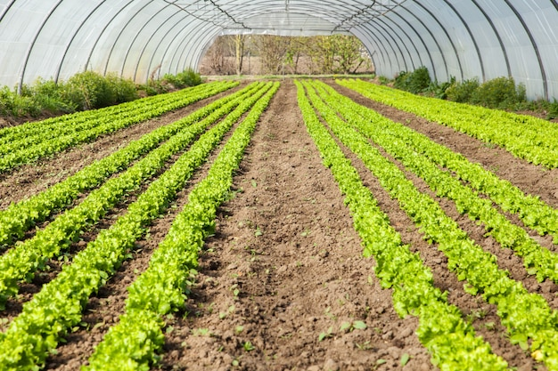Kultur von bio-salat in gewächshäusern