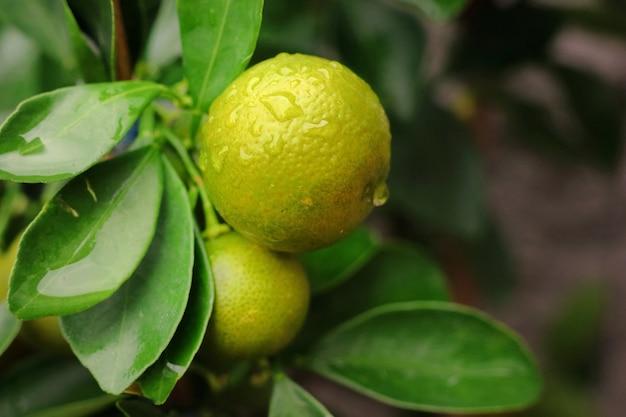 Kumquat-baum mit wassertropfen auf orangefarbenen früchten und grünen blättern. natur- und lebensmittelkonzept.