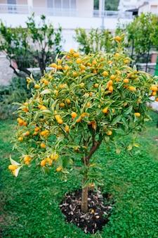 Kumquat- oder fortunella-baum mit reifen orangenfrüchten an ästen im garten