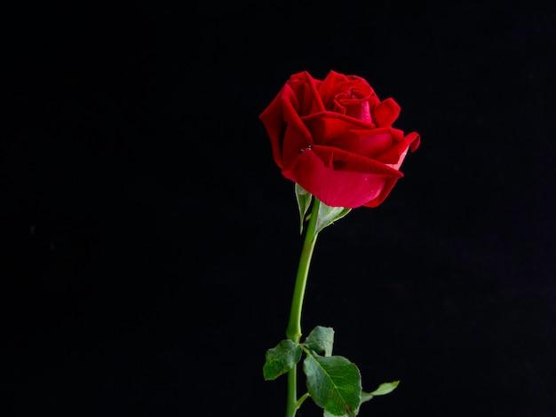 Kunstfotografie: rosen