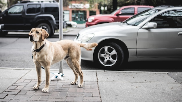 Kurzbeschichteter brauner hund, der neben grauem auto steht, das auf straße geparkt wird