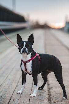 Kurzer beschichteter schwarzweiss-hund auf braunem holzboden während des tages