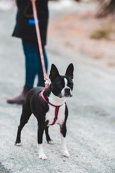 Kurzer beschichteter schwarzweiss-hund auf grauem betonboden während des tages