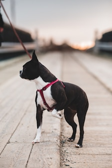 Kurzer beschichteter schwarzweiss-hund auf grauer betonstraße während des tages