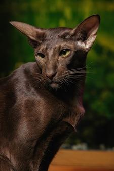 Kurzhaar oriental havana cat mit schokoladenmantelfarbe.