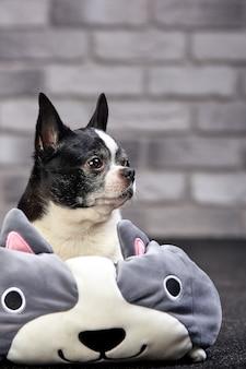Kurzhaariger chihuahuahund, der zuhause in einem großen spielzeug auf einem weißen ziegelsteinhintergrund aufwirft
