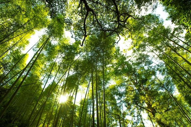 Kyoto, japan am bambuswald.