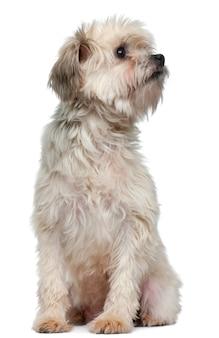 Lãƒâ¶wchen oder petit chien lion oder little lion dog (3 jahre alt)