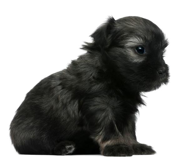 Lãƒâ¶wchen oder petit chien lion oder little lion dog puppy (3 wochen alt)