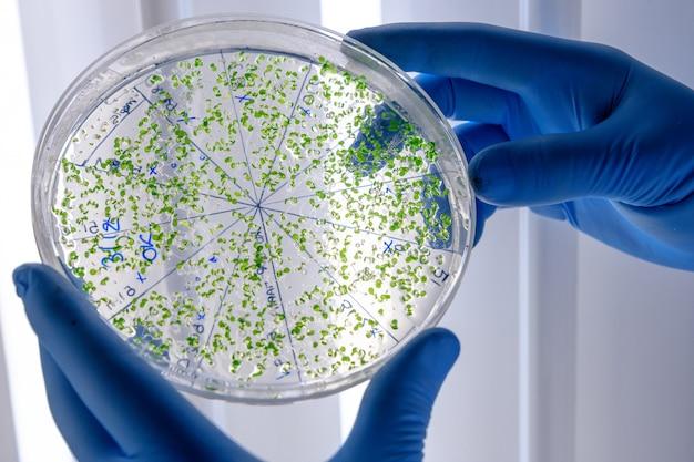 Laborant, der eine grüne substanz auf einer petrischale untersucht, während er coronavirus-forschung durchführt