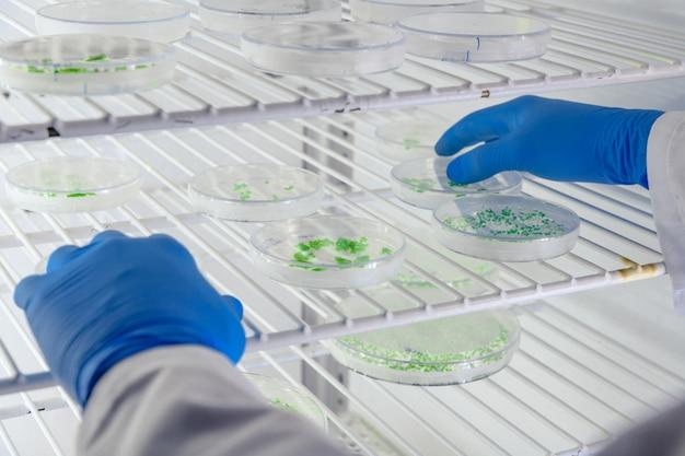Laborant, der eine substanz auf petrischalen untersucht, während er coronavirus-forschung betreibt