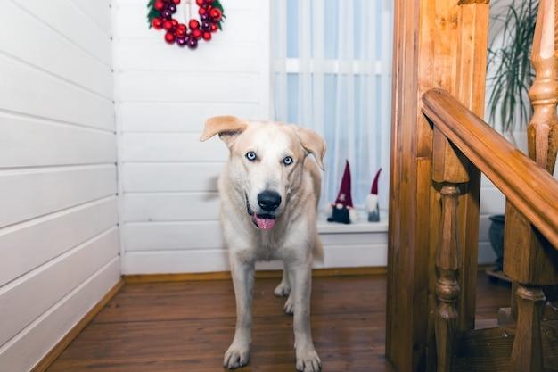 Labrador auf einer hellen weihnachtshintergrundnahaufnahme