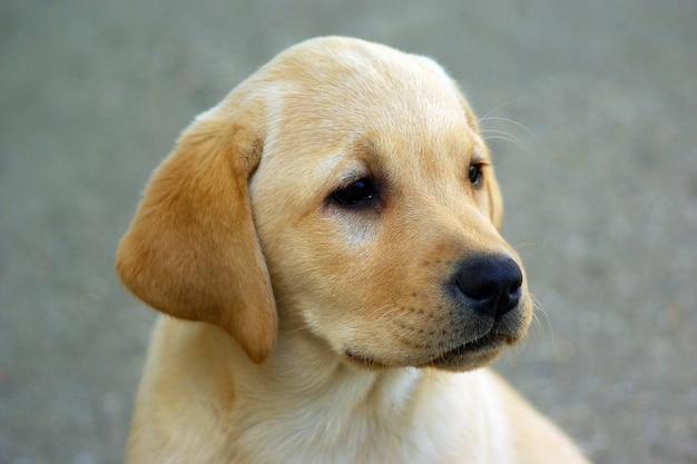 Labrador-hündchen
