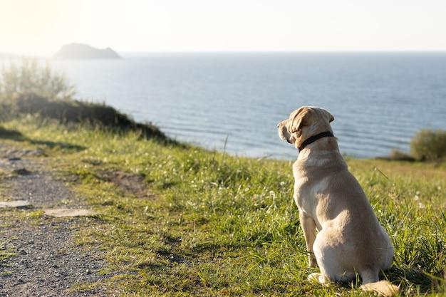 Labrador-hund, der abends am meeresrand den sonnenuntergang betrachtet
