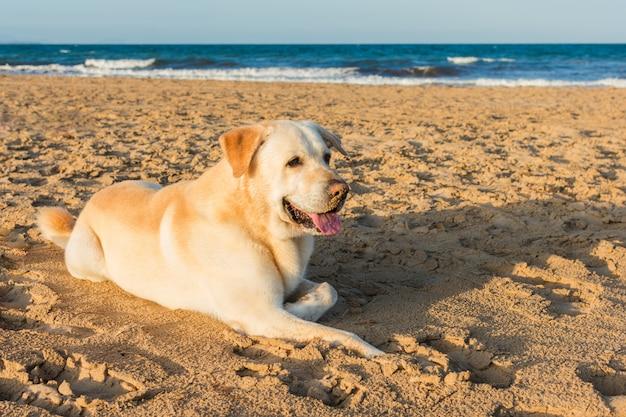 Labrador-hund, der sich am strand hinlegt.