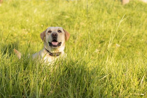 Labrador-hund liegt an einem sonnigen tag im gras Premium Fotos
