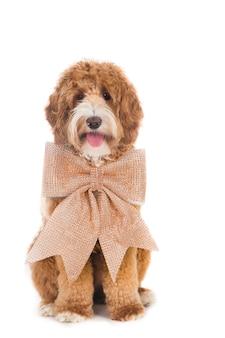 Labrador hund mit xl weihnachtsbogen.