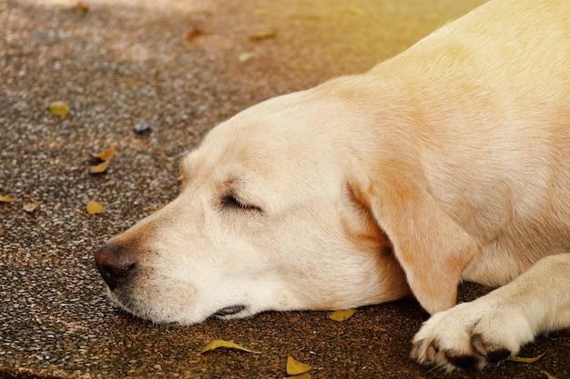 Labrador hund zum schlafen