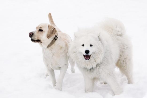 Labrador-hunde und samoyed auf einem schneebedeckten hintergrund