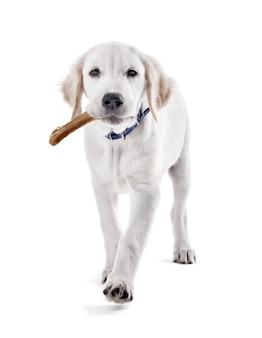 Labrador-hundekauknochen isoliert auf weiß