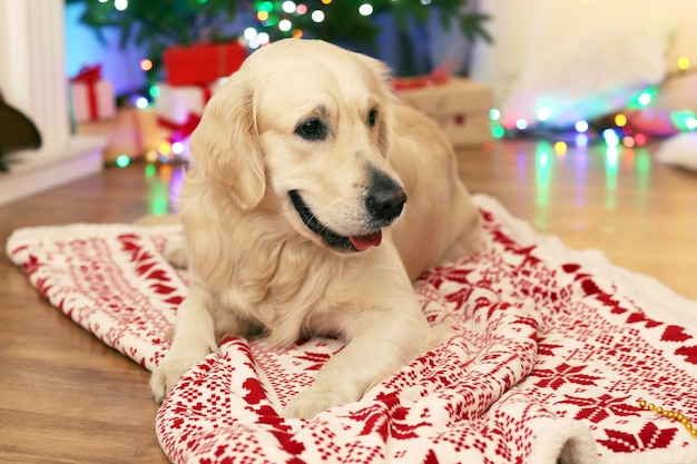 Labrador liegt auf plaid auf holzboden und weihnachtsdekoration