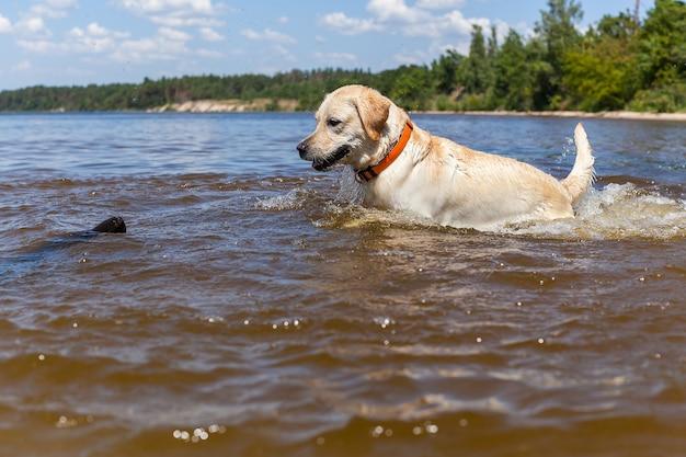 Labrador mit gummiring schöner labrador sitzt im fluss mit gummiring im nacken