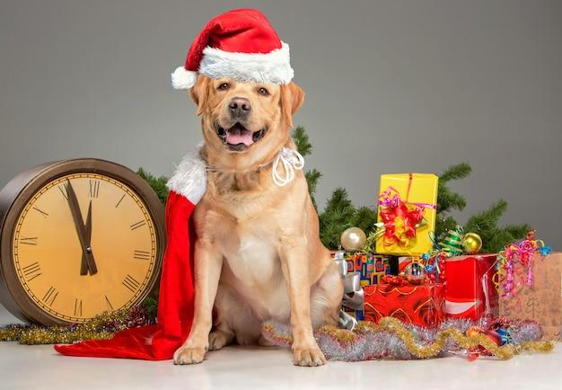 Labrador mit weihnachtsmütze und neujahrsgirlande und geschenken. weihnachtsdekoration auf grauem hintergrund isoliert