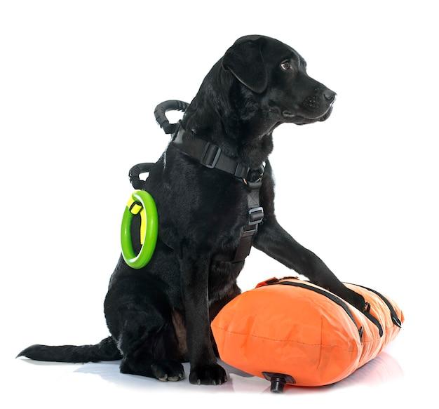 Labrador retriever retten