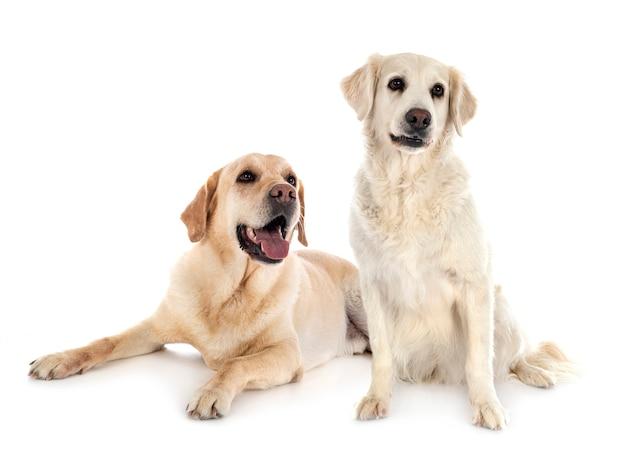 Labrador retriever und golden retriever vor weißem hintergrund