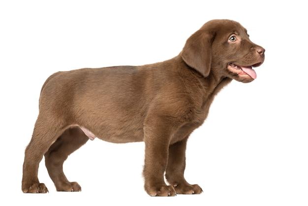 Labrador retriever welpe stehend und keuchend