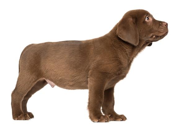 Labrador retriever welpe steht und schaut auf