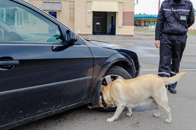 Labrador retriever zollhund, der nach gegenständen sucht, die für den transfer durch die grenze verboten sind
