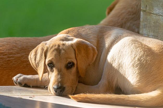 Labrador retriver welpe, der an der tür des hauses ruht