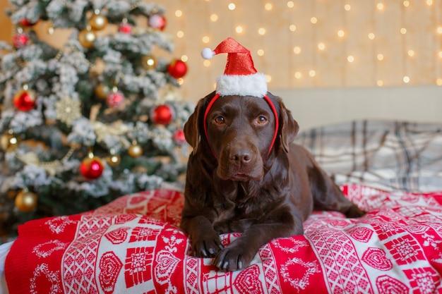Labrador schlafzimmerbett nahe dem weihnachtsbaum in einer weihnachtsmütze