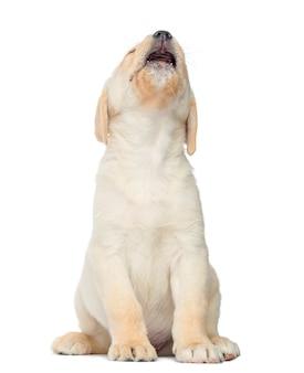 Labrador welpe sitzt isoliert auf weiß