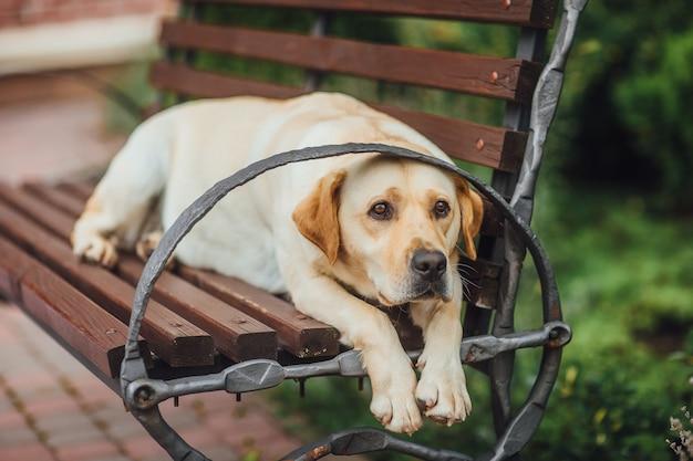 Labradore sitzt auf einer bank im park