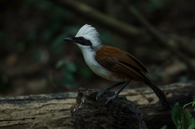 Lachender drossel (garrulax leucolophus)