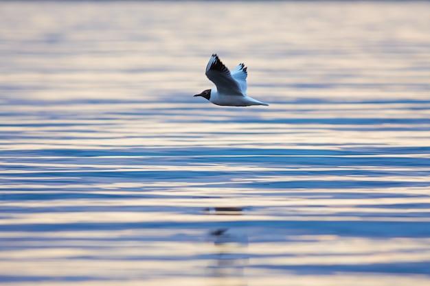 Lachmöwe (chroicocephalus ridibundus), die bei sonnenuntergang über einem see fliegt