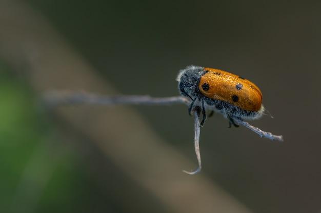 Lachnaia sexpunctata