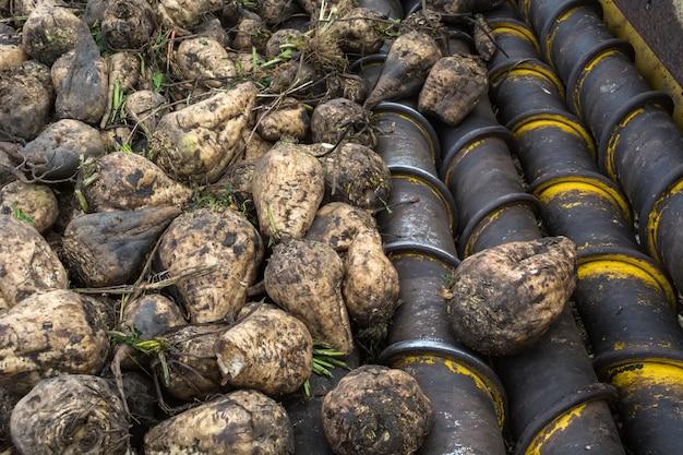 Laden der geernteten zuckerrüben durch einen lader auf lastwagen