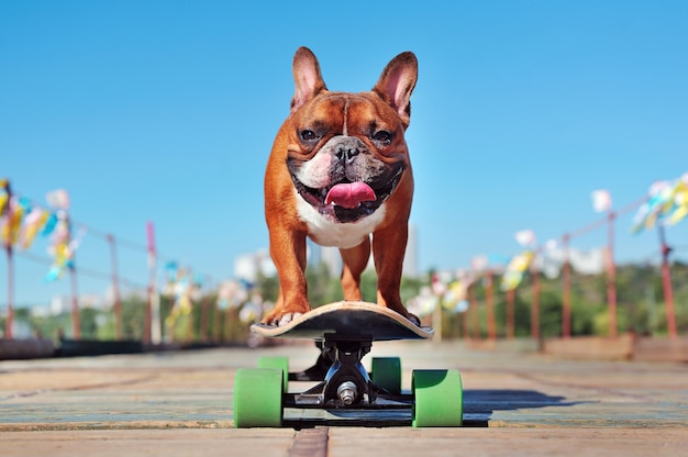 Lächelnde französische bulldogge, die auf das longboard am sonnigen tag eisläuft
