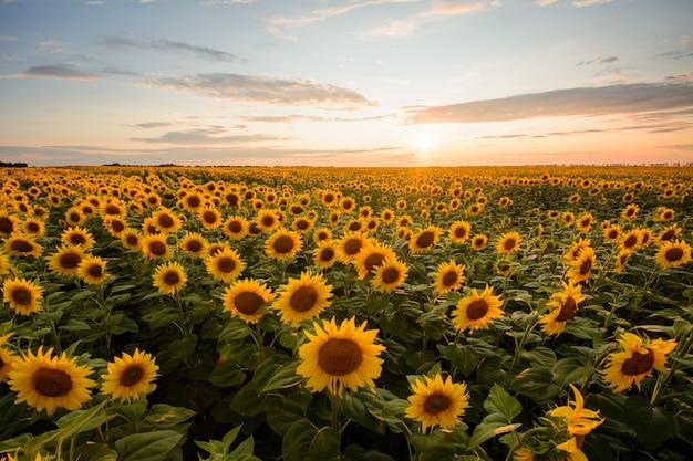 Ländliche landschaft des feldes der blühenden goldenen sonnenblumen während sonnenuntergang in ukraine