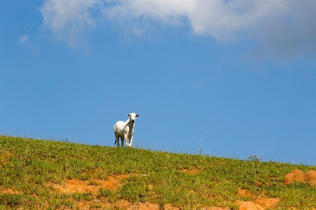 Ländliche landschaft mit vieh, gras und blauem himmel