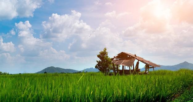 Ländliche szene das verlassene häuschen liegt mit grünen reissetzlingen in einem reisfeld