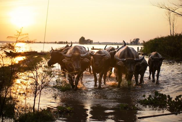 Ländliche traditionelle szene thailands, thailändischer landwirt, tendenz büffelherde, zum bauernhaus zurück zu gehen.