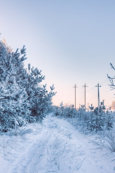Ländliche winterstraße mit kiefern