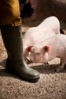 Ländlicher reisender und schweine hautnah